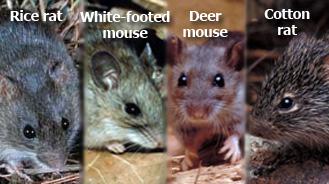 Deer Mice Removal MN | Minnesota Mice Prevention | Minnesota Wild ...