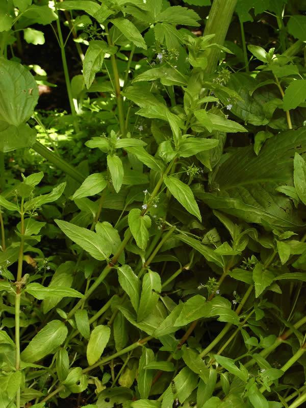 Veronica americana American Speedwell Minnesota Wildflowers