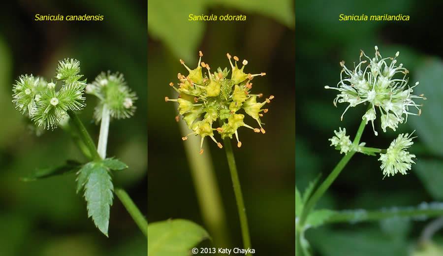 Sanicula marilandica Maryland Black Snakeroot Minnesota Wildflowers