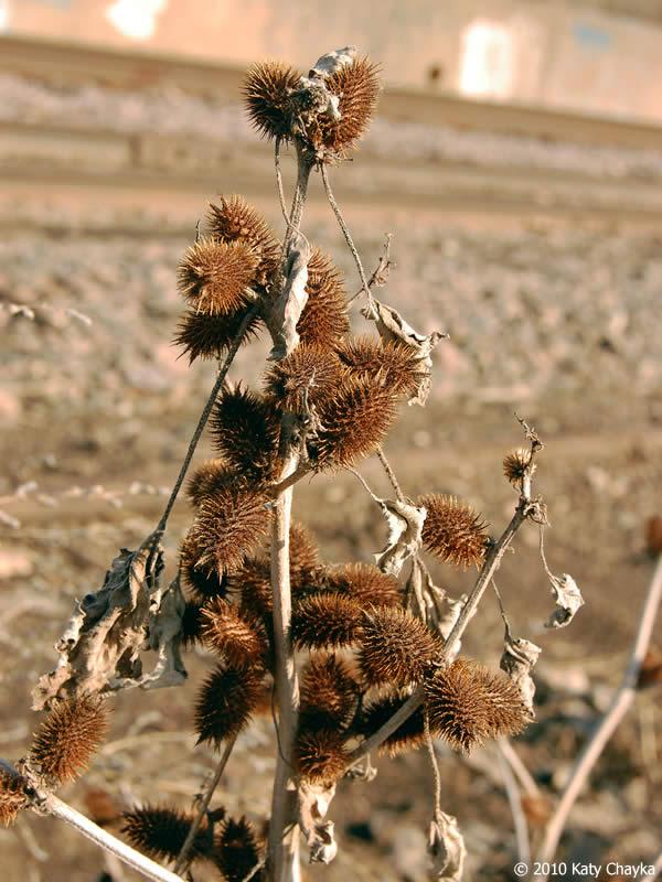 Xanthium strumarium Cocklebur Minnesota Wildflowers