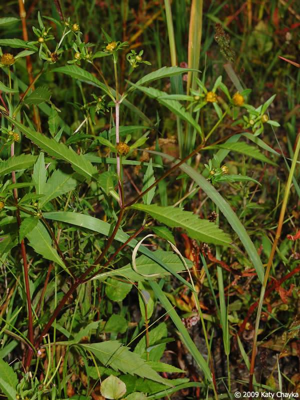 Bidens connata Purplestem Beggarticks Minnesota