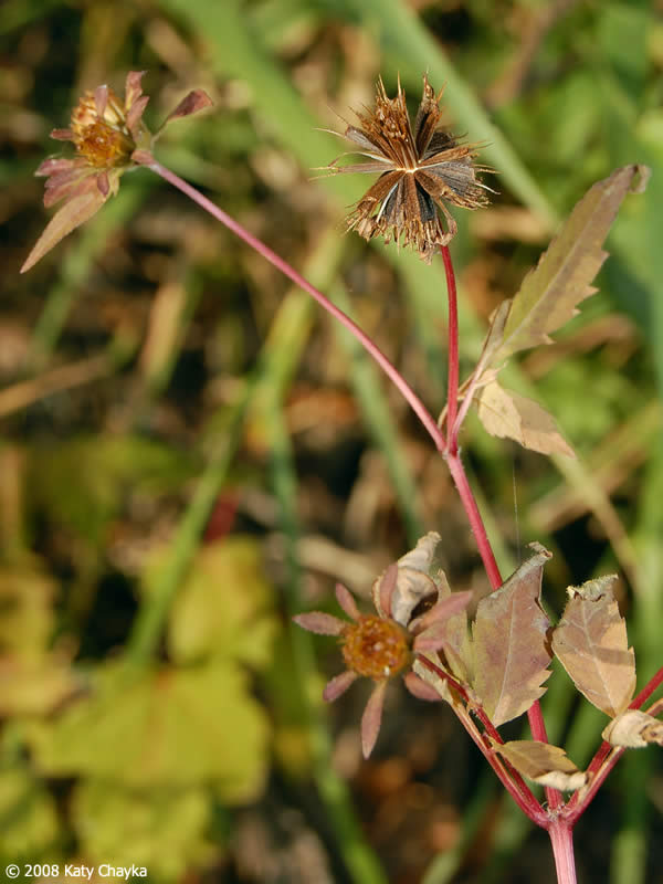 Bidens frondosa Devils Beggarticks Minnesota Wildflowers