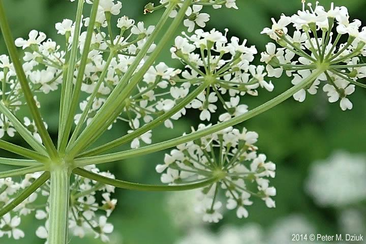 Aegopodium podagraria Goutweed Minnesota Wildflowers