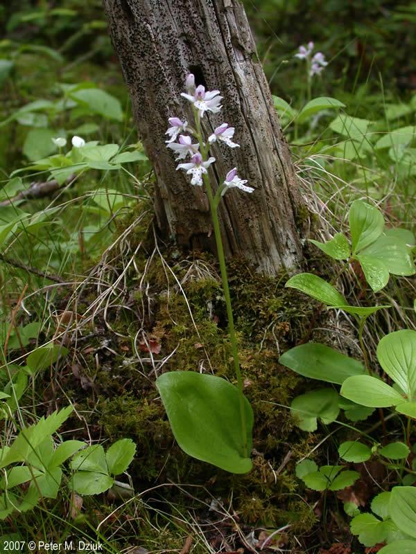 Amerorchis rotundifolia Small Roundleaved Orchid Minnesota Wildflowers