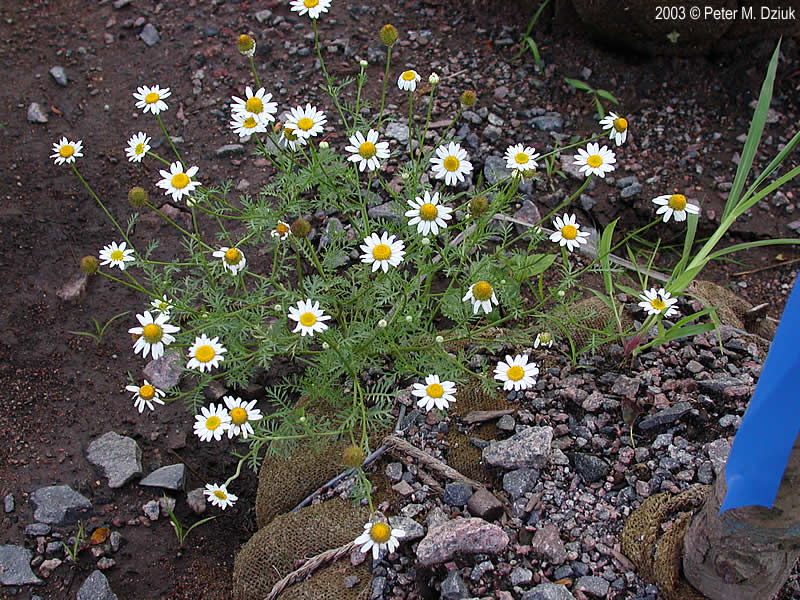 Anthemis Cotula Dog Fennel Minnesota Wildflowers