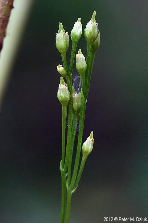 Bartonia virginica Yellow Bartonia Minnesota Wildflowers