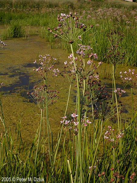 Butomus umbellatus Flowering Rush Minnesota Wildflowers
