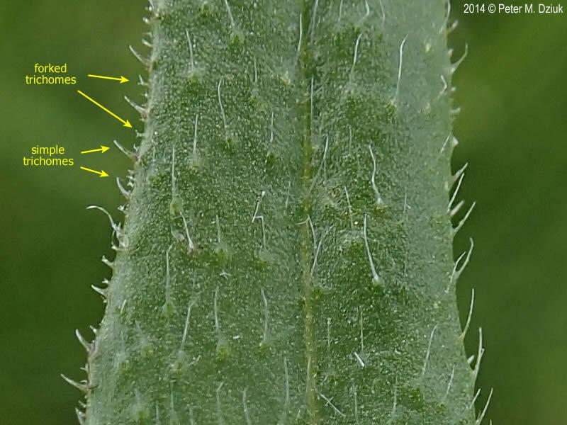 Camelina microcarpa Smallseeded False Flax Minnesota