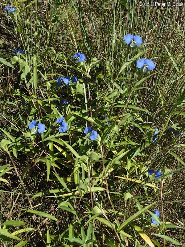 Commelina erecta Slender Dayflower Minnesota Wildflowers