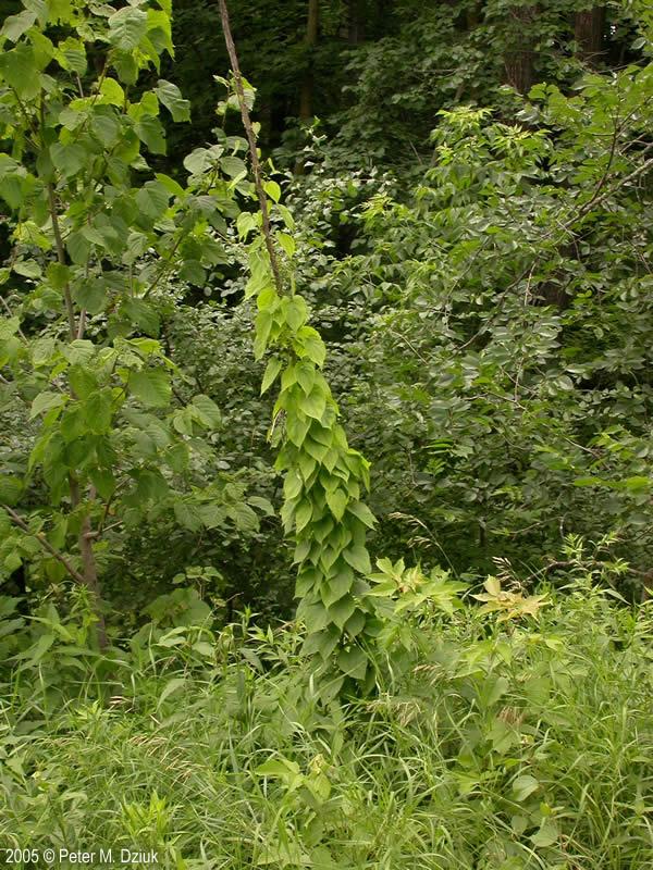 Dioscorea Villosa Wild Yam Minnesota Wildflowers