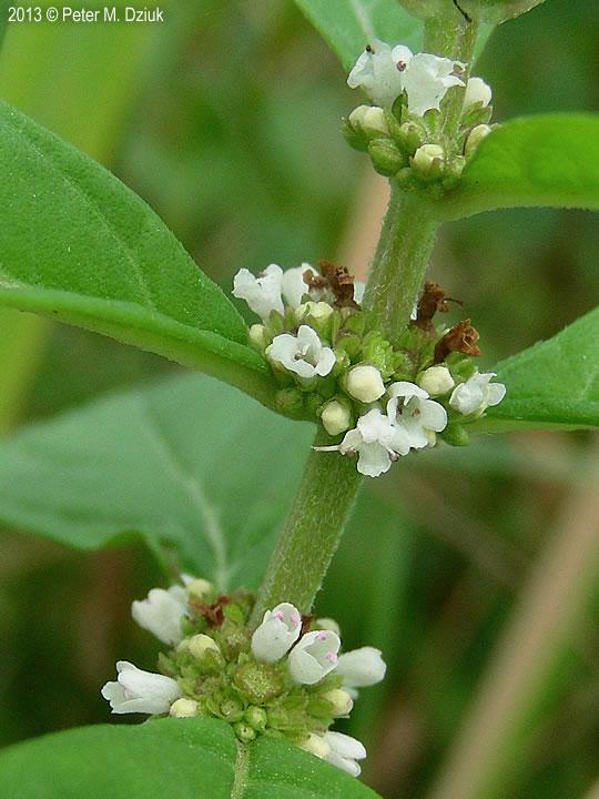 Lycopus uniflorus Northern Bugleweed Minnesota Wildflowers