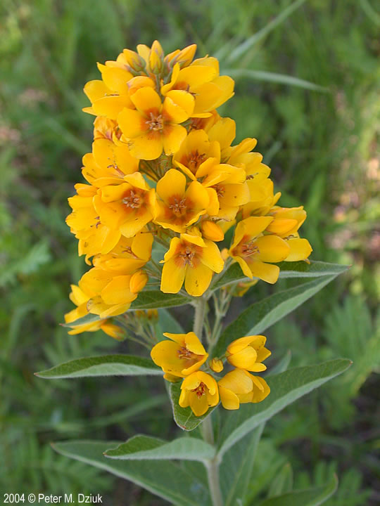 Lysimachia vulgaris Garden Loosestrife Minnesota