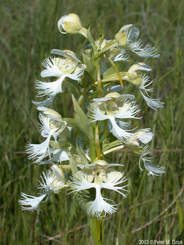 Platanthera praeclara Western Prairie Fringed Orchid
