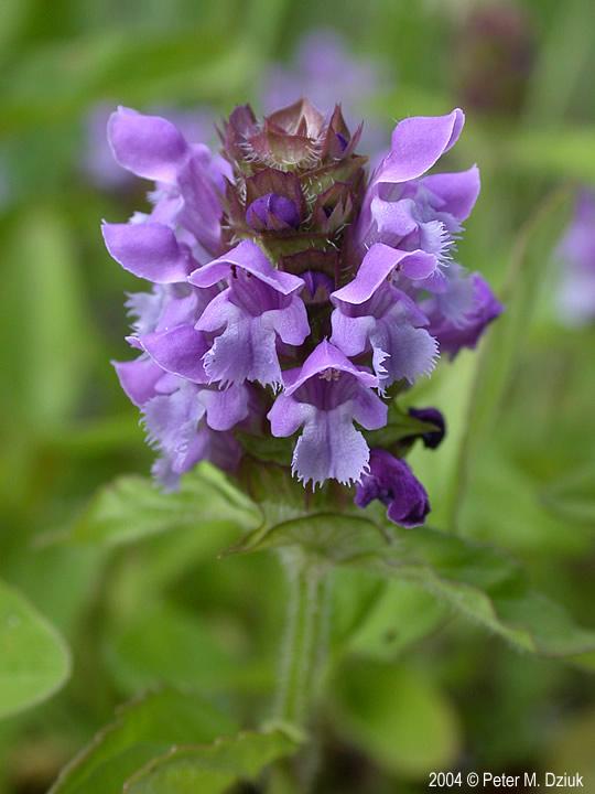 Small Purple Flowers