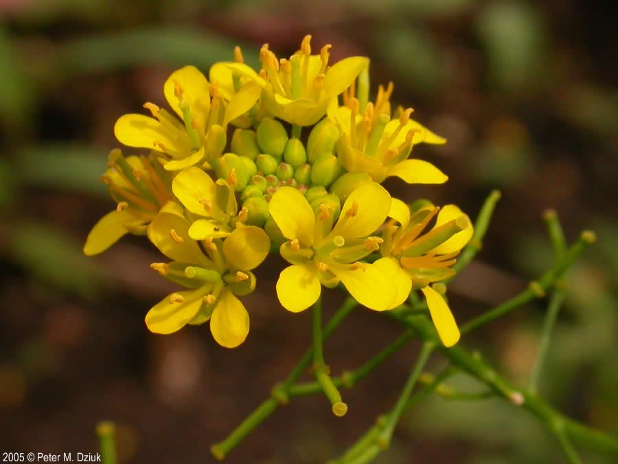 Rorippa sinuata Spreading Yellowcress Minnesota Wildflowers