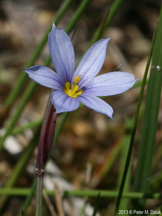 'firecracker,' a mottled green variety with red to pink leaf. Sisyrinchium mucronatum (Needle-pointed Blue-eyed Grass