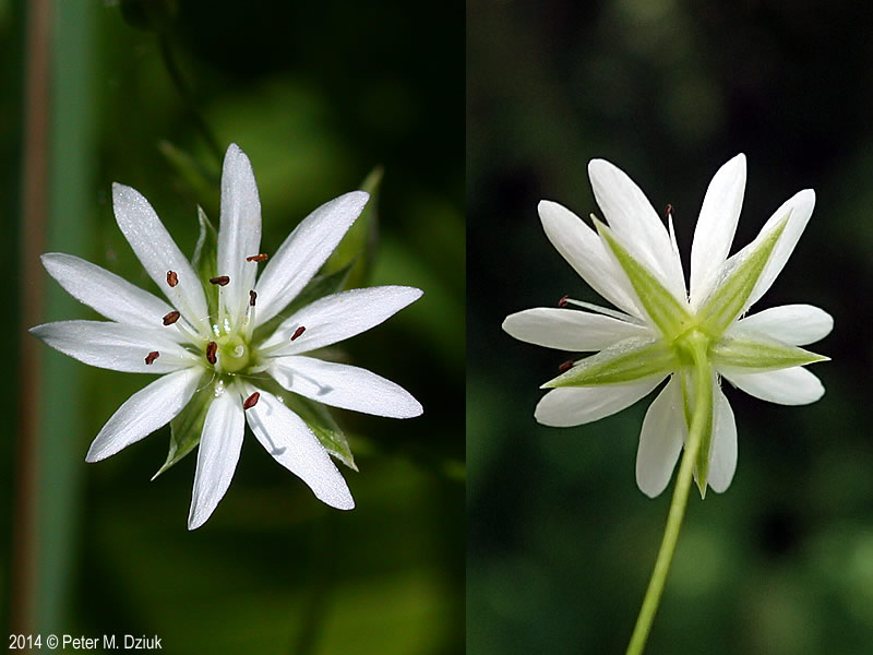 Stellaria graminea Lesser Stitchwort Minnesota Wildflowers