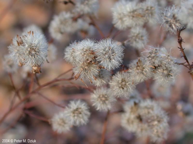 Symphyotrichum oolentangiense Skyblue Aster Minnesota