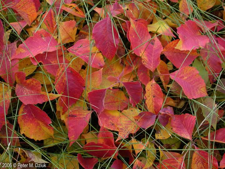 Toxicodendron rydbergii Western Poison Ivy Minnesota