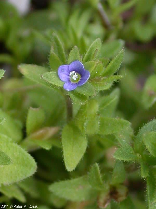 Veronica arvensis Corn Speedwell Minnesota Wildflowers