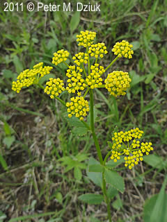 Zizia Aptera Heart Leaved Alexanders Minnesota Wildflowers