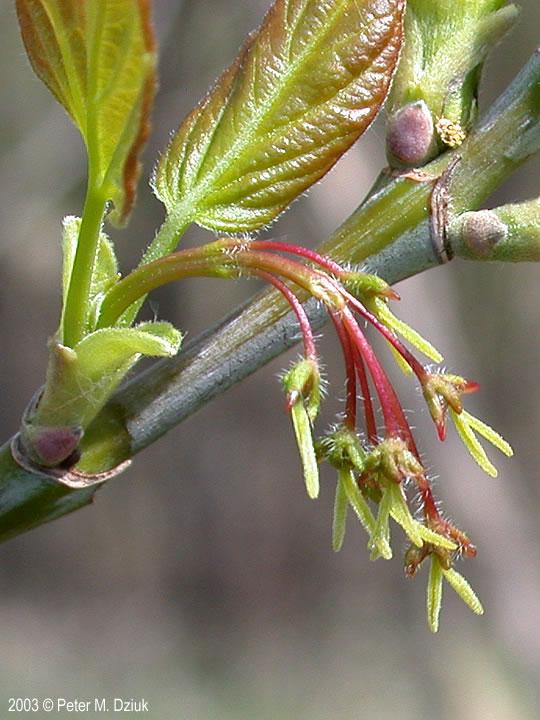 Acer negundo Boxelder Minnesota Wildflowers