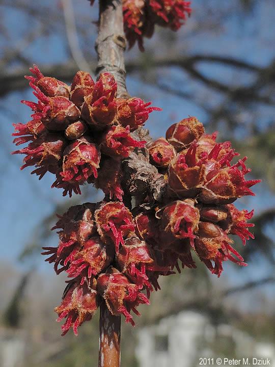Acer saccharinum Silver Maple Minnesota Wildflowers