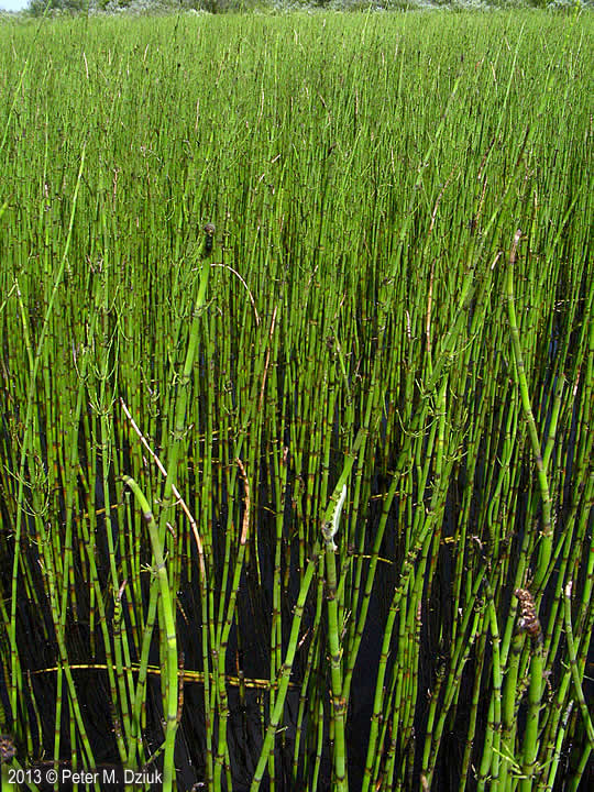 Equisetum fluviatile Water Horsetail Minnesota Wildflowers