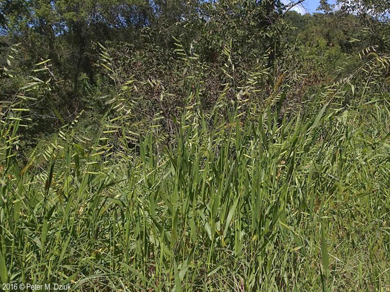Eriochloa villosa Hairy Cupgrass Minnesota Wildflowers