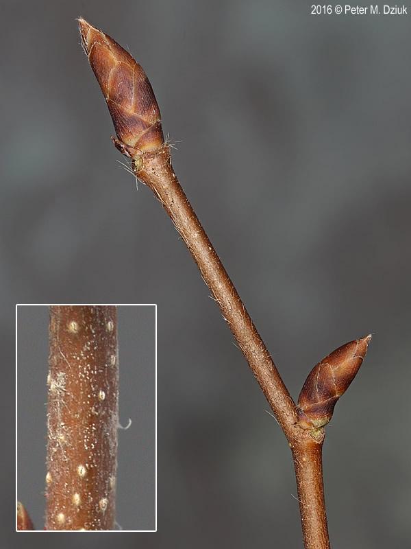 Ostrya virginiana Ironwood Minnesota Wildflowers