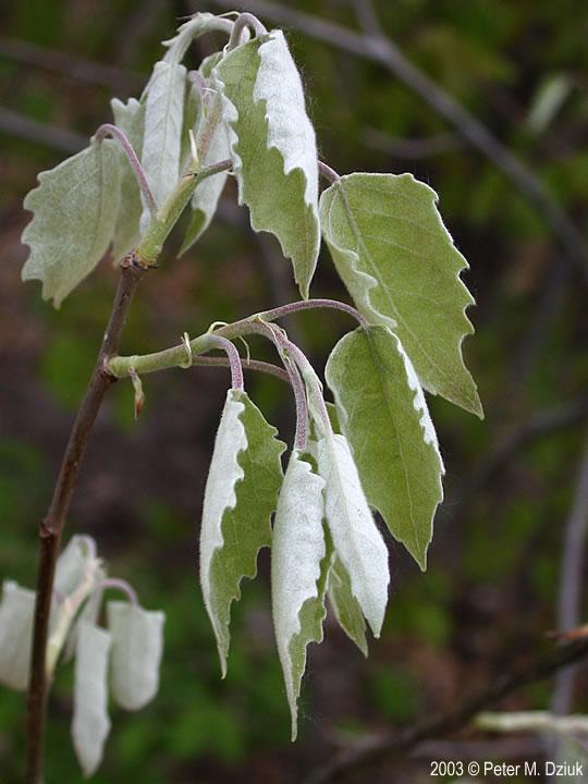 Populus grandidentata Bigtooth Aspen Minnesota Wildflowers