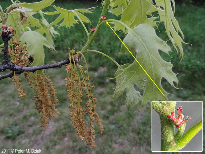 Male And Female Quercus Flower