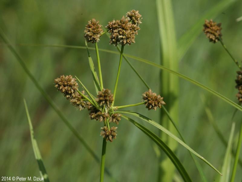 Long Green Plant