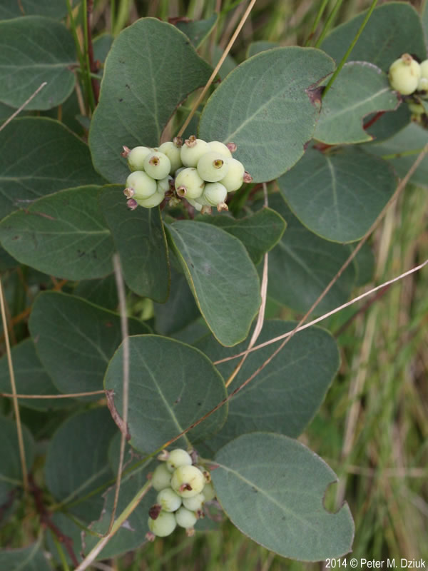 Symphoricarpos occidentalis Wolfberry Minnesota Wildflowers