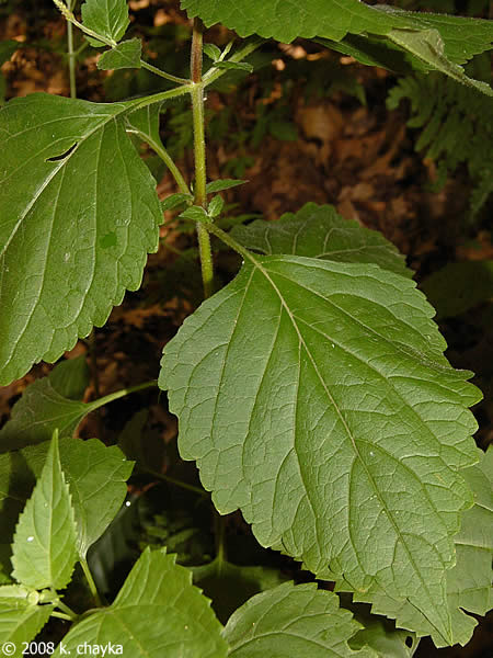 Phryma Leptostachya American Lopseed Minnesota Wildflowers
