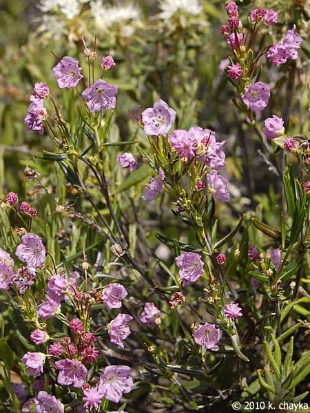 Kalmia polifolia Bog Laurel Minnesota Wildflowers