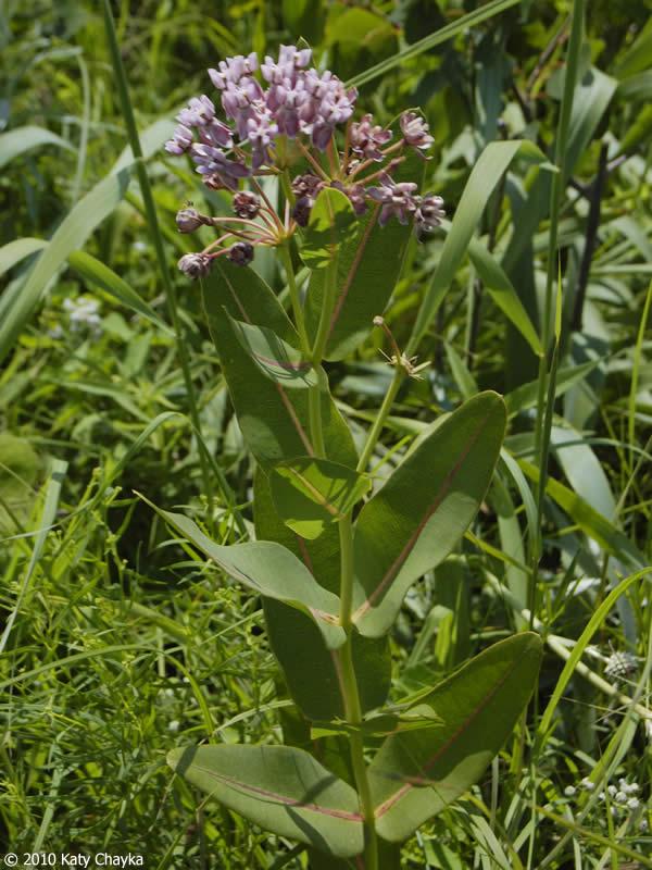 Asclepias sullivantii Sullivants Milkweed Minnesota Wildflowers