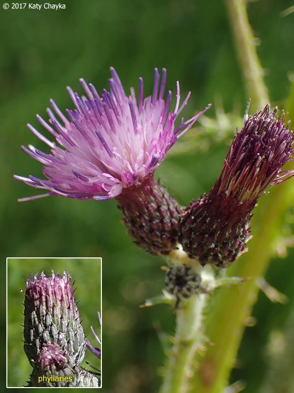 Cirsium palustre Marsh Thistle Minnesota Wildflowers