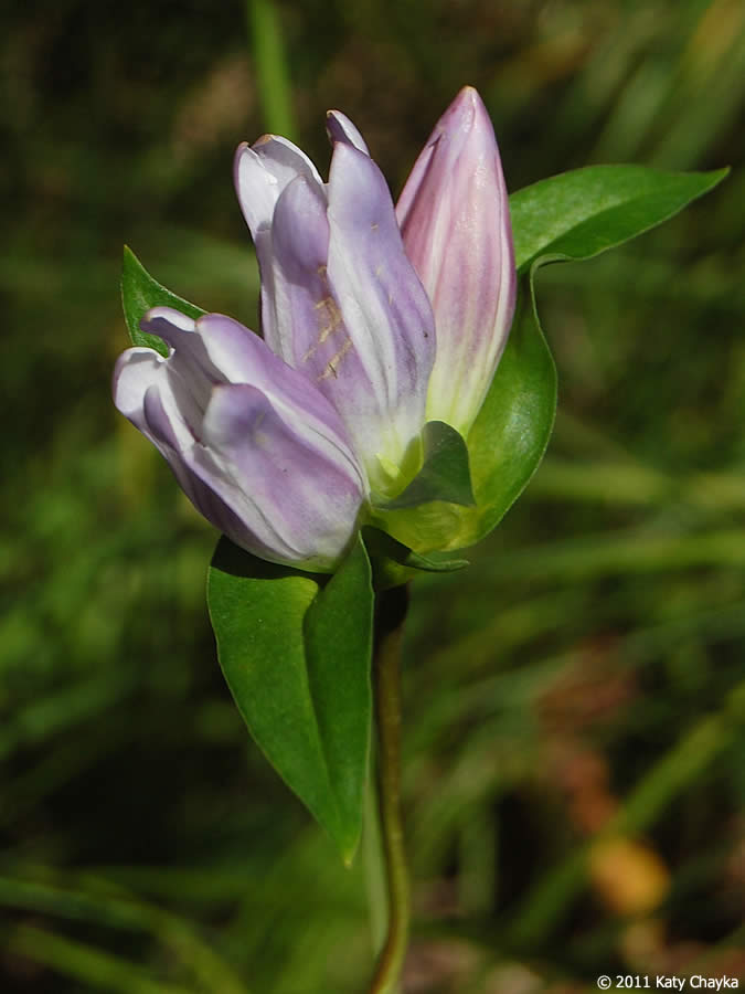 Gentiana rubricaulis Great Lakes Gentian Minnesota Wildflowers