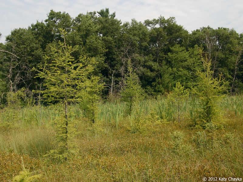 Larix laricina Tamarack Minnesota Wildflowers