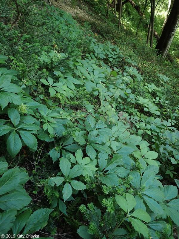 Parthenocissus Quinquefolia Virginia Creeper Minnesota