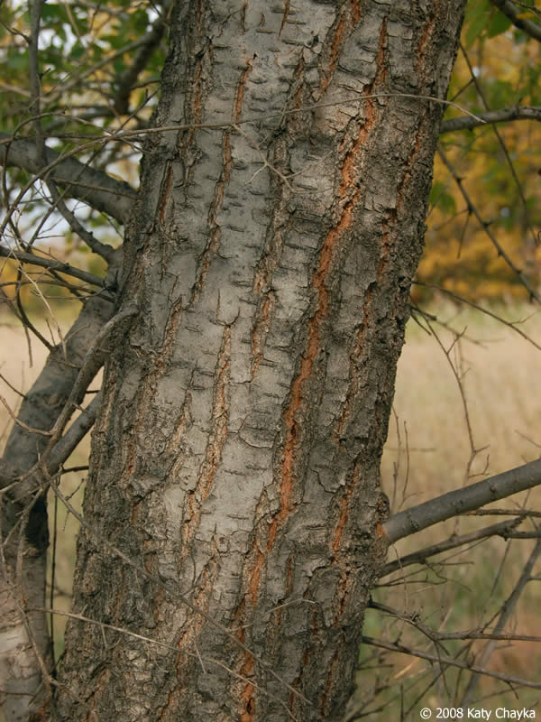 Ulmus pumila Siberian Elm Minnesota Wildflowers