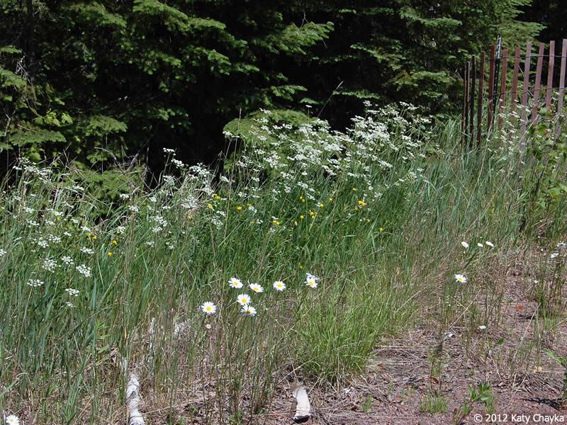 Carum carvi (Caraway): Minnesota Wildflowers