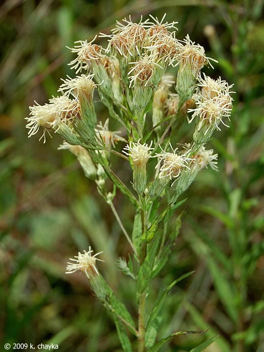 Brickellia eupatorioides False Boneset Minnesota