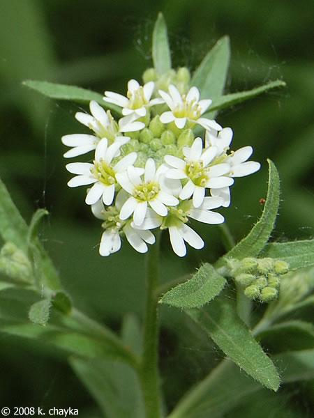 Berteroa incana Hoary Alyssum Minnesota Wildflowers