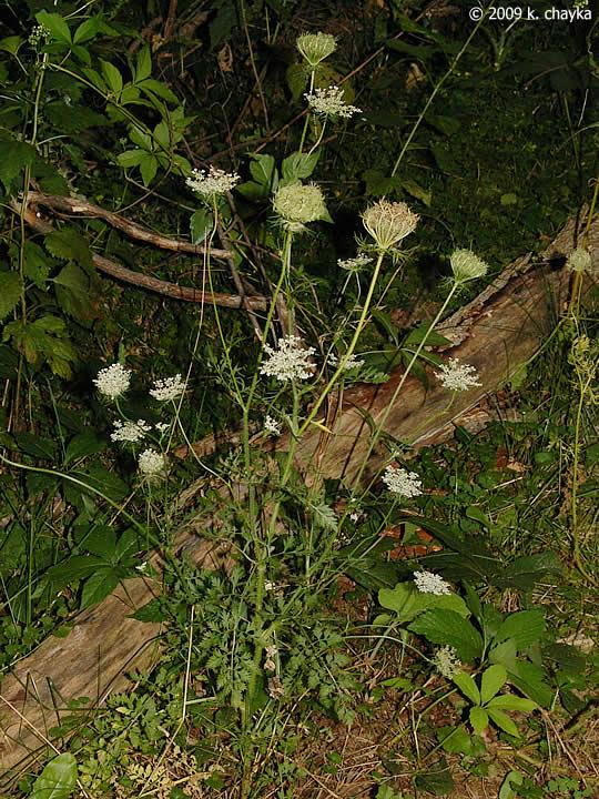 Daucus carota Queen Annes Lace Minnesota Wildflowers