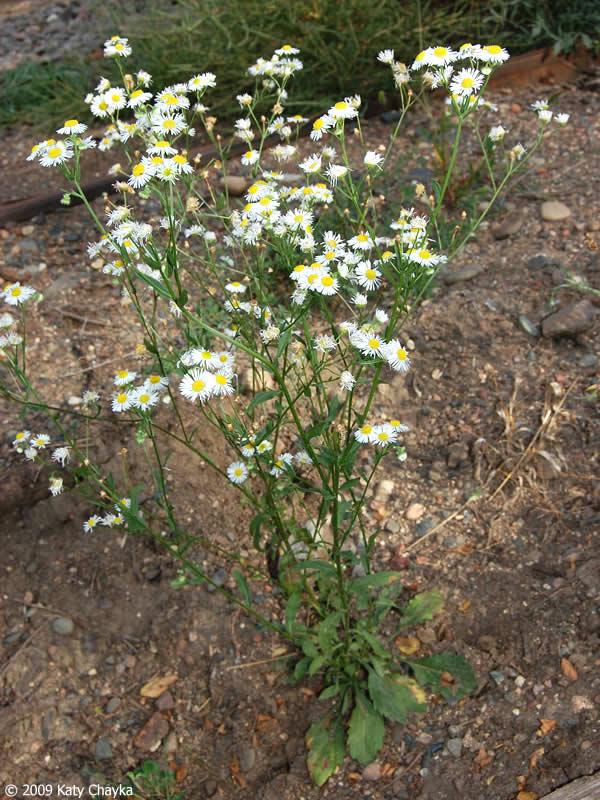 Erigeron Annuus Annual Fleabane Minnesota Wildflowers