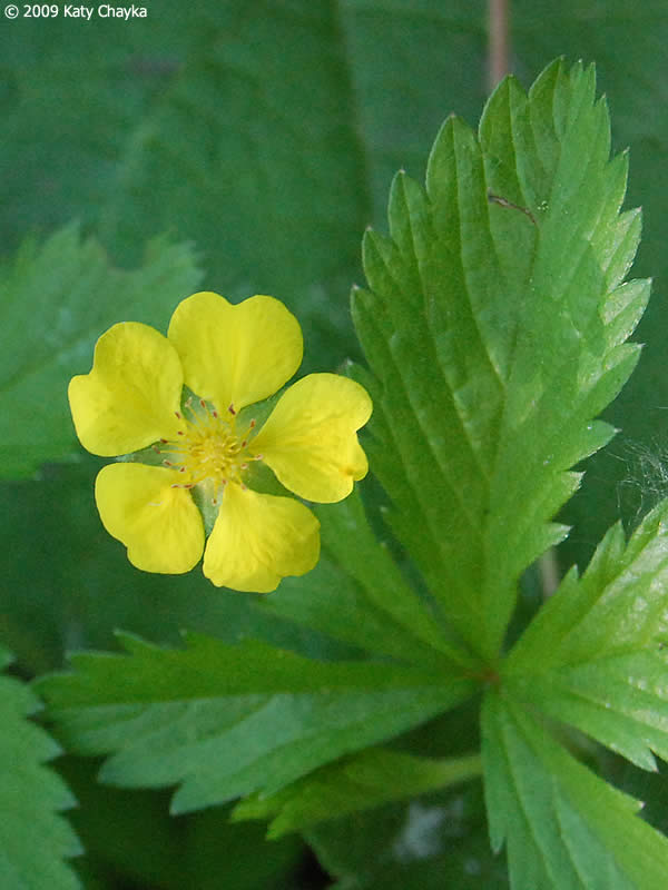 Strawberry Plant Yellow Flowers