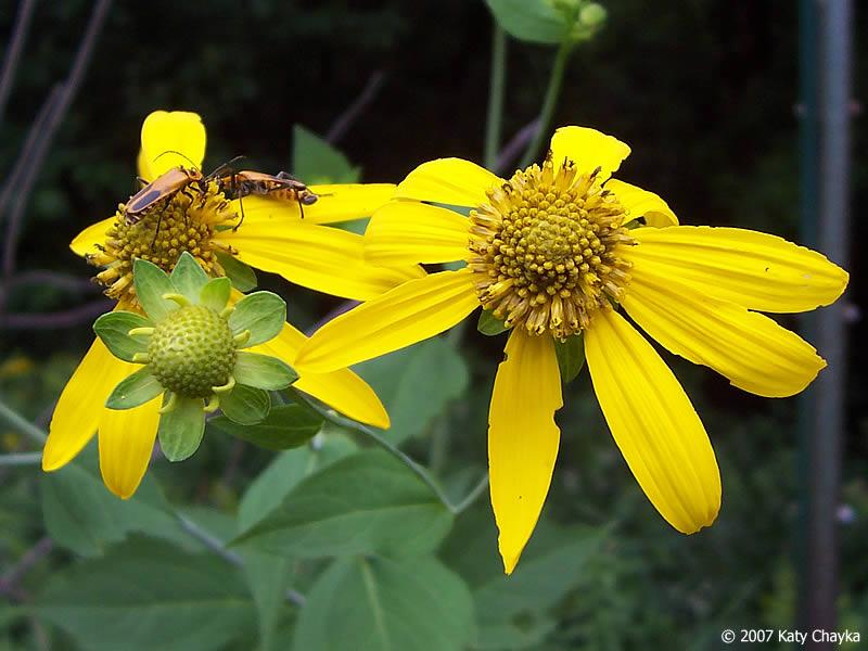 Rudbeckia laciniata Cutleaf Coneflower Minnesota Wildflowers