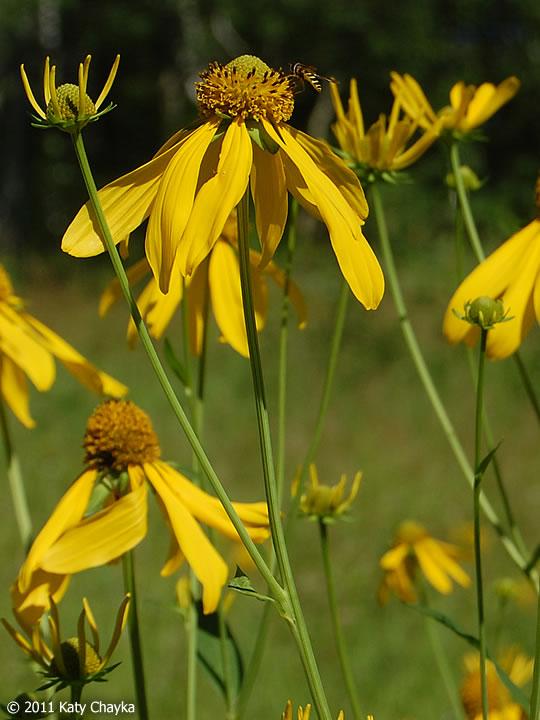 Rudbeckia laciniata Cutleaf Coneflower Minnesota